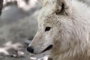 Wolf management, predation and control are hot subjects in the Northwest. (Image source:  Publicdomainpictures.net)